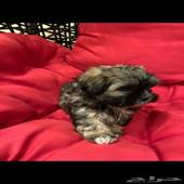 Shih Tzu pure puppies for sale شيتزو بيور