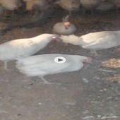 للبيع دجاج لاحم بياض