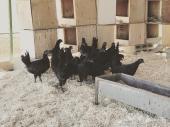 دجاج اندونيسي الاسود النادر ( مباع )