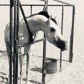 حصان شعبي سيوق