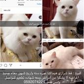 قط ذكر بكامل أغراضه للبيع علي السوم الموقع ينبع البحر