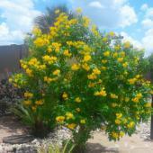 بذور شجرة التيكوما ستانز الصفراء