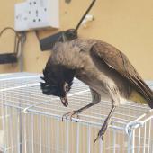 طير بلبل مفقود في أبها المنسك