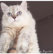 قطة شيرازية جميلة للبيع