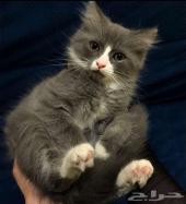 قط صغير شيرازي جميل ومميز