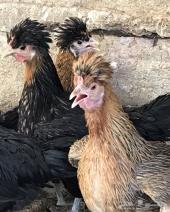 دجاج بياض