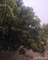 ثلاث مزارع مانجو وليمون في ناوان