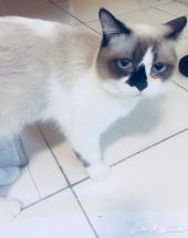 قطو فصيلة راغدول