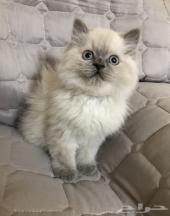 قطه كيتن هيمالايا للبيع