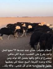 غنم مراح نجد69