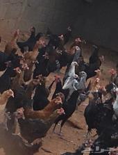 بيض ودجاج وحمام للبيع بلدي