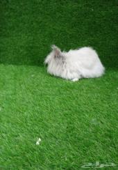 ارانب انجورا