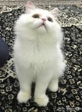 قطه بيكي فيس شيرازي للبيع (القريات)