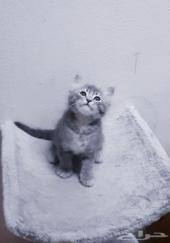 قطة صغيرة كتن شيرازي قطط صغيرة