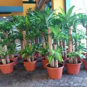 نباتات داخلية هولندية