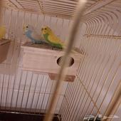 طيور حب منتج سابقا للبيع بدون الشبك