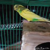 طيور الحب (بادجي) للبيع