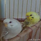 طيور بادجي فالو عيون حمر للبيع