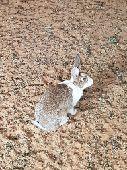ارانب بلدى
