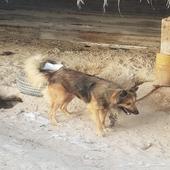 كلب للبيع جرمان شبر مهجان بهاسكي