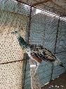 للبيع ذكر طاووس
