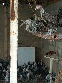 دجاج فيومي اصل سلالة نقيه