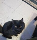 قطط رومي للبيع