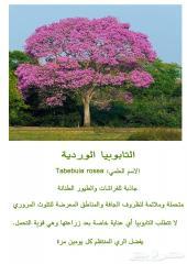 شتلات التابوبيا الوردية متوفرة