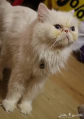قطة بكي فيس