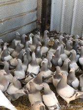 الطيور البلدي زغاليل- بط - سمان -دجاج- ديوك