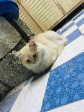 قط شيرازي ذكر - ابيض و بني فاتح