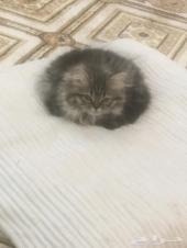قطتين شيرازي انثى بصحه جيده مطعمه