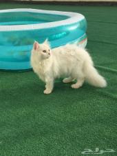 قط شيرازي جميل