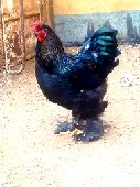 دجاج براهما اللبيع