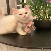 قطة شيرازية انثى عمرها شهرين في مكة