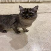 قطه شيرازي من ام شيرازي واب همالايا