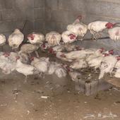 دجاج للبيع العدد تقريبن 65