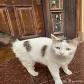 قطة مفقودة وجدتها في الظهران