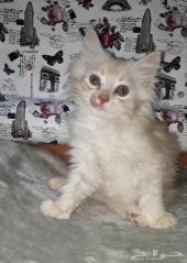 قطه صغيره كتن شيرازي امريكي
