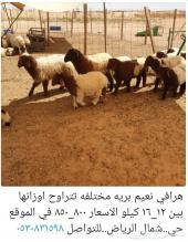جذعان فاخره..هرافي نعيم بريه..شمال الرياض