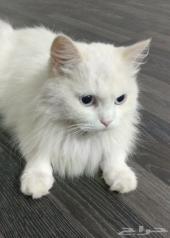 قطة بيضاء
