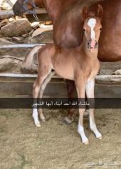 حصان مهر تبارك الرحمن حفيد رويال كلرز