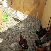 دجاج طبرجل