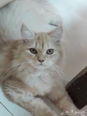 زوج قطط شيرازية مع 2 كيتن ذكور كيوت