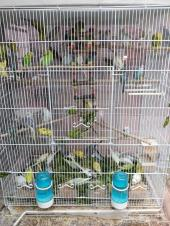 طيور الحب بادجي للبيع الجوز 120 ريال