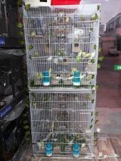طيور الحب للبيع جديد