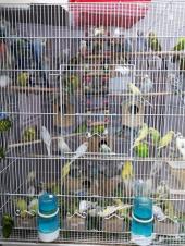 طيور الحب للبيع الجوز