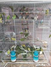 جديد طيور الحب للبيع