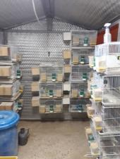 13 جوز طيور بادجي منتجة على بيض وفروخ للبيع