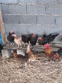 دجاج  بلدي بياض وحضان